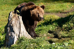 Brown Bear (My Planet Experience) Tags: brown bear grizzly male ursus ursusarctos teddy teddybear wild wildlife wilderness mammal animal forest tree green nature natural nopeople day color fall autumn outdoors species endangered iucn redlist myplanetexperience wwwmyplanetexperiencecom