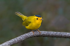 CA3I1931-Wilson's Warbler (tfells) Tags: wilsonswarbler passerine bird nature wildlife songbird california cardellinapusilla