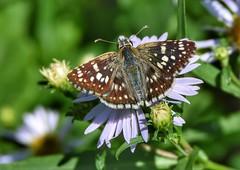 Common Checkered Skipper (Pyrgus communis) (JRWhitaker1) Tags: garden backyard flower pollinator insect pyrguscommunis commoncheckeredskipper skipper butterfly