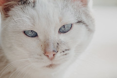 Gatito Blanco White cat (reycastillo1) Tags: gatito cat canon55250 canon rebelt2i t2i clavéalta highkey