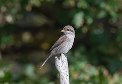 Red-Backed Shrike Juv-8502285 (seandarcy2) Tags: birds wild wildlife avian shrike redbacked juv 1stwinter coastal scrub