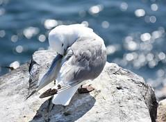 Trip to Farne Islands - Kittiwake (littlestschnauzer) Tags: farne islands bird north sea sparkling 2019 summer seabird birds nature wildlife uk preening rocky nesting kittiwake