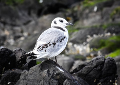 Seabirds on Farne Islands (littlestschnauzer) Tags: farne islands northumberland coast birds bird 2019 august summer