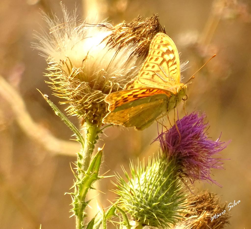 """Águas Frias (Chaves) - ... borboleta (""""Argynnis paphia"""") em flor de cardo (""""Cynara cardunculus"""") ..."""