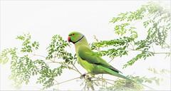 """Be on your guard; stand firm in the faith; be courageous; be strong"" (Ramalakshmi Rajan) Tags: parakeet parrots parrot roseringedparakeet birds bird inmygarden nikkor70300mm nikond5000 nikon"