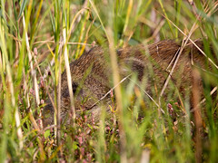 Wildschwein - Ruhend im Gras ... (naturgucker.de) Tags: ngidn1929257916 susscrofa wildschwein