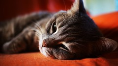 Afternoon nap (Dario Cardillo) Tags: catportrait cats gatti sony sonyalpha sonynex6 7artisans 25mm manuallens nap
