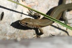 Lunch. (ChristianMoss) Tags: viviparous lizard zootoca vivipara reptile eppingforest common outside