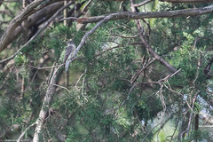 Possible Yellow Bellied Flycatcher (Deapesh) Tags: birding flycatcher