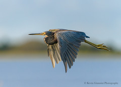 Tricolored Heron (Kevin James54) Tags: egrettatricolor nikon500mmpff56 nikond850 tricoloredheron wilmington animals avian bird fortfisher heron kevingianniniphotocom