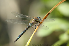 MigrantHawker_1Mark (behemoth365a) Tags: dragonfly felmershamgravelpits bedfordshire wildlifetrust insect