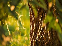 Bark of the willow tree (J.C. Moyer) Tags: bladeren leaves rustiek rustic holland thenetherlands volendam edam lumix45150mm lumixgx80 hfs45150 dmcgx80 lumix panasonic bark bast zonsondergang sunset naturephotography natuurfotografie flora boom tree nature natuur wilgenboom wilg willowtree