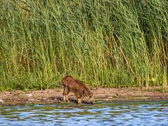 Wildschwein - am Wasser ... (naturgucker.de) Tags: ngid533252381 susscrofa wildschwein