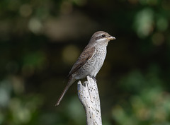 Red-Backed Shrike Juv-8502277 (seandarcy2) Tags: 1stwinter wild wildlife avian shrike redbacked juv scrub coastal birds