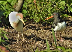 Cattle Egret and Oystercatcher (Bob Silver ☺) Tags: cattle egret oystercatcher bird