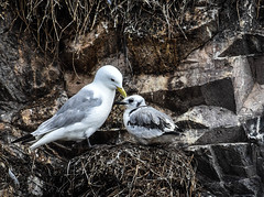 Nesting Seabirds on Farne Islands (littlestschnauzer) Tags: nesting nest seabirds birds sea coastal young parent nature wildlife uk 2019 august summer farne islands