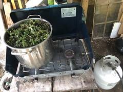 Oregano Dyebath (lady-ursula) Tags: ecocolor dyeing campstove wool oregano naturaldye