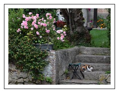 le regard du chat (Christ.Forest) Tags: chat cats fleur nature rose pink verdure jardin plante plantation mur broglie eure normandi normandy