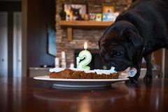 _DSF7871.jpg (zane.hollingsworth) Tags: 180ss 19mm belle pug pugbirthday edgar's2ndbirthday birthdayparty iso1000 f32 19mm35eqv birthday edgar pugparty mila pugs pugbirthdayparty