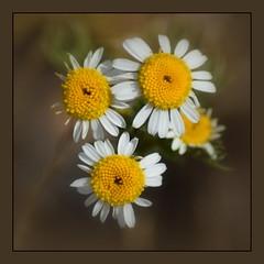Am Straßenrand... (schau_ma_da) Tags: 2604 album5 blüten blütenprächtiges blumen düsseldorf düsseldorfradeln deutschland flickr nikond5300 pflanze pflanzenleben quadrat schaumada tamron70300 dzsmd515