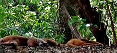 MEXICO,  Tabasco, Villahermosa- Parque-Museo de la Vento,  Fauna und Flora, Nasenbären beim Mittagsschlaf, 19265/11940 (roba66) Tags: mexiko mexico mécico méjico nordamerika northamerica zentralamerika yukatanhalbinsel rundreise 2017 roba66 yucatán tabasco villahermosa tiere animal animals creature parquemuseo vento tierpark museumspark nasenbär fauna tier wild urlaub reisen travel explore voyages visit tourism coati