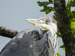 Beauty competition (Pendlelives) Tags: grey heron funny looks stare staring tree juvenile upper foulridge reservoir colne lancashire long beak nature wildlife countryside bird birds ornithology pendle pendlelives nikon p1000 clarity vibrant vibrance background animals colours colour color feathers uk british species
