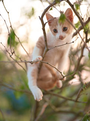 GFX1822 - Luke Treewalker (Diego Rosato) Tags: luke tree albero climber scalatore gatto cat pet animal animale gattino kitten giardino garden fuji gfx50r fujinon gf110mm rawtherapee