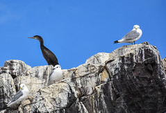 Farne Islands (littlestschnauzer) Tags: farne islands birds seabirds nature wildlife 2019 summer