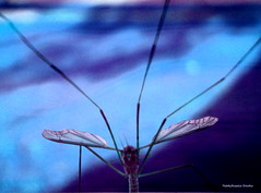 Heres Looking at You (cordeliasmom2012) Tags: insect bug nature outdoor summer mosquitoeater abstract macro closeup