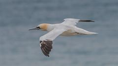 Gannet (  Morus bassanus ) (Dale Ayres) Tags: gannet morus bassanus bird nature wildlife sea handheld