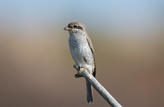Red-Backed Shrike Juv-8502189 (seandarcy2) Tags: 1stwinter wild wildlife avian shrike redbacked juv scrub coastal birds