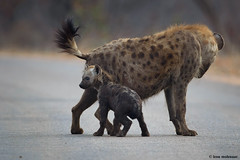 Hyena female and cub (leendert3) Tags: leonmolenaar southafrica krugernationalpark wildlife wilderness nature naturereserve naturalhabitat wildanimal mammal hyena