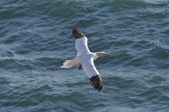 Gannet_3903 (Torsten Klein) Tags: morusbassanus basstölpel helgoland germany schleswigholstein bird vogel gannet