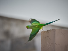 Rose-ringed Parakeet (male) (a.sutradhar) Tags: ngc sigma150600mm sonya7iii bird sigmamc11 parrot roseringedparakeet