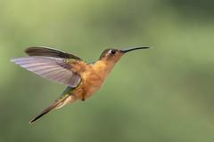 Hummingbird - San Rafael - Guatemala (wietsej) Tags: hummingbird san rafael guatemala bird flying bif flight sony rx10 rx10m4 rx10iv
