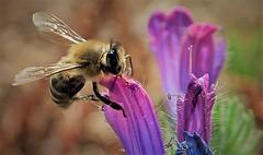 looking for pollen (smokykater - 700k+ views) Tags: biene bee pollen greece corfu peloponissos work duty color summer hot animal plant flower blüte