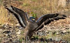 crested serpent eagle (Spilornis cheela) (Dr.Bhattu) Tags: crested serpent eagle spilornis cheela wings show tipeshwar wildlife sanctuary drbhattu photography maharashtra telangana hyderabad asia india soe ngc