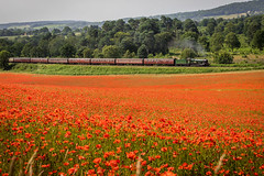 5D4_0670_ (Richard McVeigh Photography) Tags: 6960 gwr hall poppies raveninghamhall svr steam summer red train steamtrain