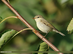 Greenish Warbler (Phylloscopus trochiloides) (gilgit2) Tags: aliabad avifauna birds canon canoneos7dmarkii category fauna feathers geotagged gilgitbaltistan greenishwarblerphylloscopustrochiloides hunza imranshah location nature ornithology pakistan species tags tamron tamronsp150600mmf563divcusd wildlife wings gilgit2 phylloscopustrochiloides