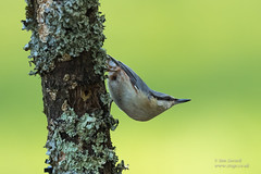 Nuthatch (Ian Locock Photography) Tags: 2018 birds ferndown nuthatch