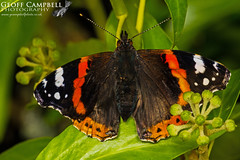 Red Admiral (Vanessa atalanta) (gcampbellphoto) Tags: vanessa atalanta red admiral butterfly nature wildlife insect north antrim northern ireland gcampbellphoto