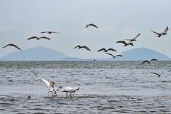 Terns & Egrets (proy21) Tags: terns egrets birds water chilikalake odisha barkul flyingbirds nikon d3300 tamron100400