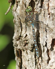 Aeschne porte-crosses / Lake Darner (alainmaire71) Tags: insecte insect odonataodonate libellule dragonfly aeschne darner aeshnidae aeshnaeremita aeschneportecrosses lakedarner nature quebec canada