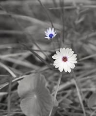 Contrast (jeo41) Tags: greenlife nature australia castlehill fredcaterson blackwhite color winter