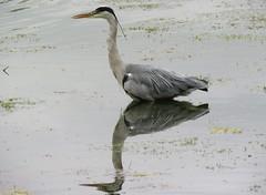 Grey heron (marksargeant57) Tags: canonpowershotsx60hs waterbird reflection suffolkwildlifetrust bird lackfordlakes water greyheron