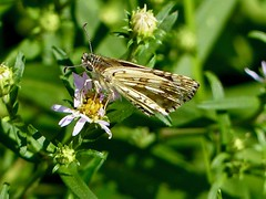 Common Checkered-Skipper (Pyrgus communis) (WRFred) Tags: butterfly maryland montgomerycounty insect skipper nature wildlife backyardwildlife