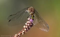 Sympetrum striolatum (De Hollena) Tags: bruinrodeheidelibel commondarter groseheidelibelle heidelibel heidelibelle libel libelle libellula sympetrumstriolatum sympétrumstrié