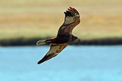 marsh harrier (DODO 1959) Tags: wildlife marshharrier avian raptor fauna birdofprey birds outdoor animal flight water wales carmarthenshire michaelpowellhide llanelli wwt canon 7dmk2 100400mmmk2