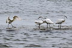 Watch my steps! (proy21) Tags: egrets birds water chilikalake barkul odisha nikon d3300 tamron100400
