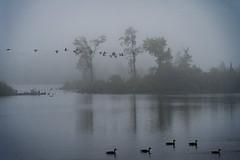 Dawn Mist (JD's Photography) Tags: greybrucehighlands ontario eugenialake canada dawn morning fog canadagoose canadageese sonya7riii sony70200f4 mist jdsphotography